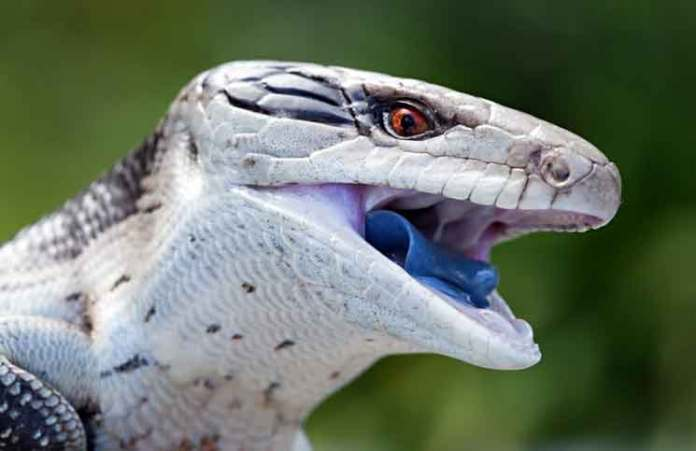 Blue tongue lizard