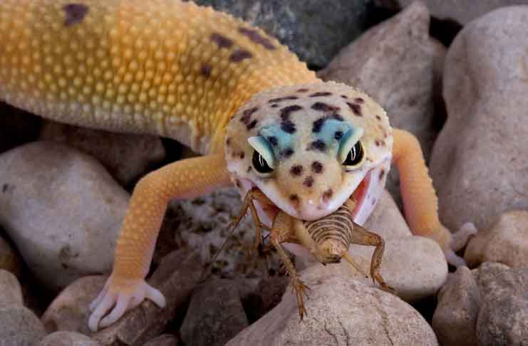 Do You Want A Leopard Gecko Pet Cobrasorg