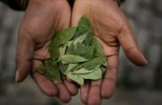 Coca Tea – Nature's Gift of Health and Happiness