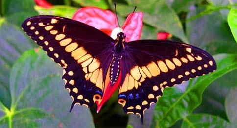 Un esemplare di farfalla