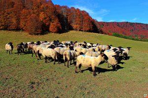 Pecore sul Cansiglio - Cocco on the road