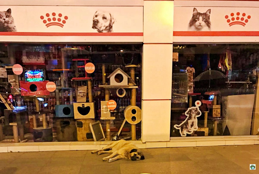 Cani randagi a Istanbul