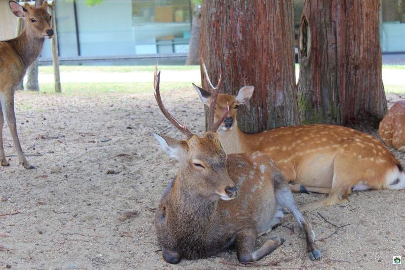 Parco dei cervi a Nara