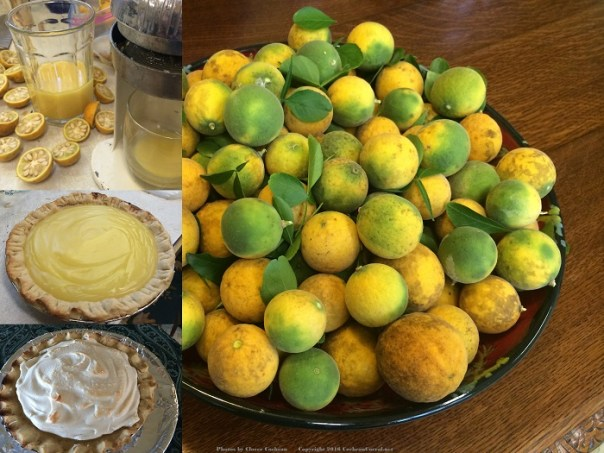 Wild lemons, inset: the squeeze process, the pie without the meringue, the pie with the meringue.