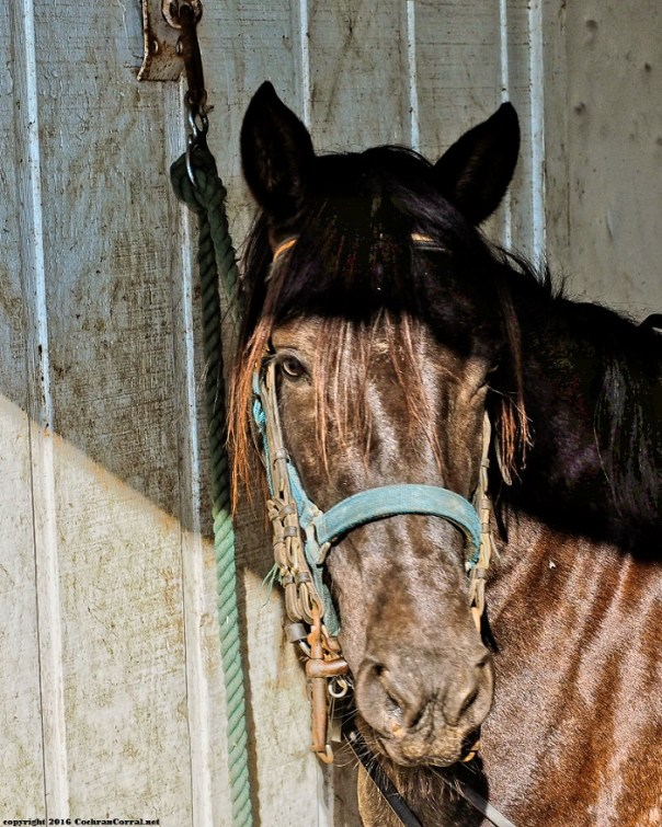 A dark horse captured gazing at the camera from a half shaded vantage point with bridle and halter.