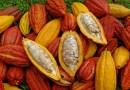 Cultivo y producción de cacao, para convertirlo en chocolate