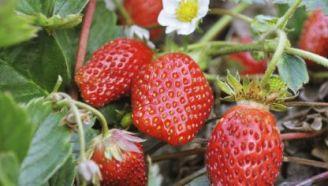 cultivar-fresas-416x236x80xX