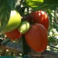 Tomates de cultivo de navazo