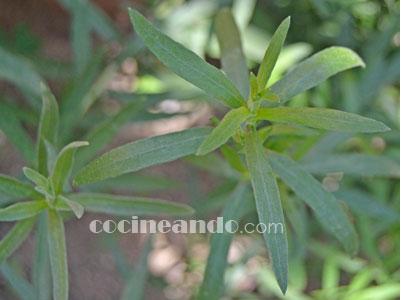 Usos culinarios y propiedades del estragón y otras hierbas aromáticas