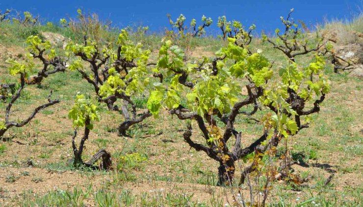 Denominación de origen Alella: marco geográfico, terruño, tipos de uvas, bodegas y vinos