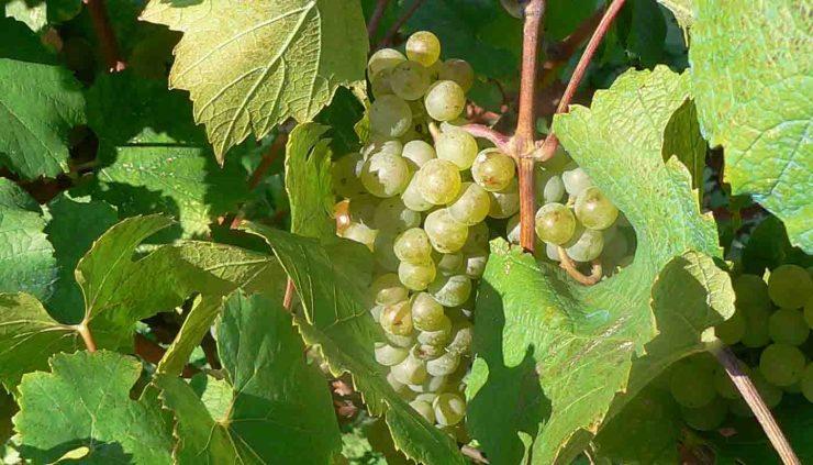 Malvasía, una de las uvas más antiguas del Mediterráneo - diccionario de uvas para vinos