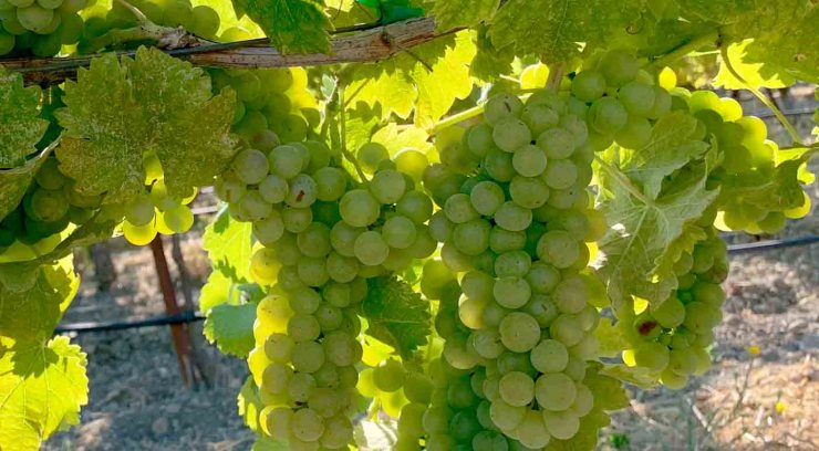 Viognier, característica de la uva y sus vinos - diccionario de uvas para vinos