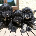 black cockapoo puppies