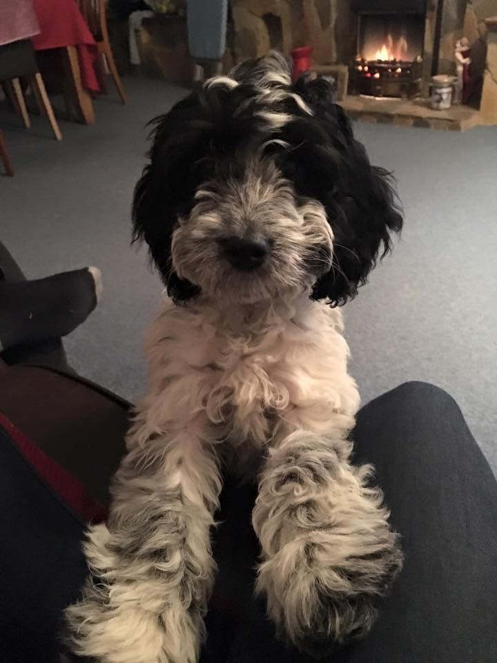 cockapoo puppies black and white