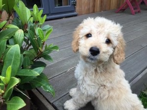 Miniature cockapoo