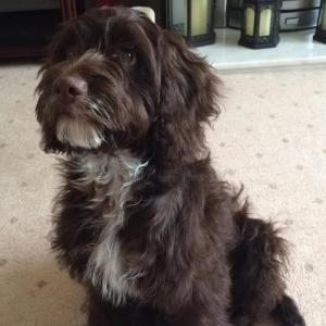 Dark Brown Miniature Cockapoo