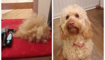 The Ultimate Guide To Cockapoo Grooming