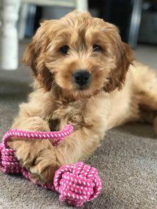 F1 cockapoo puppy