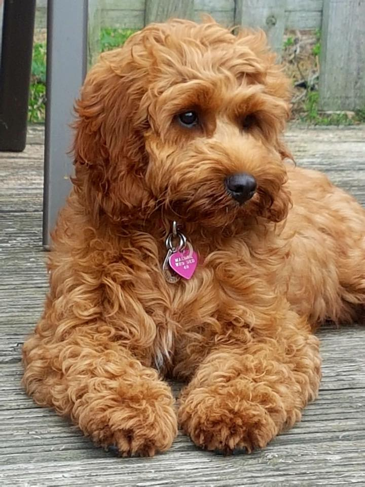 Cockapoo For Life - Www imagez co