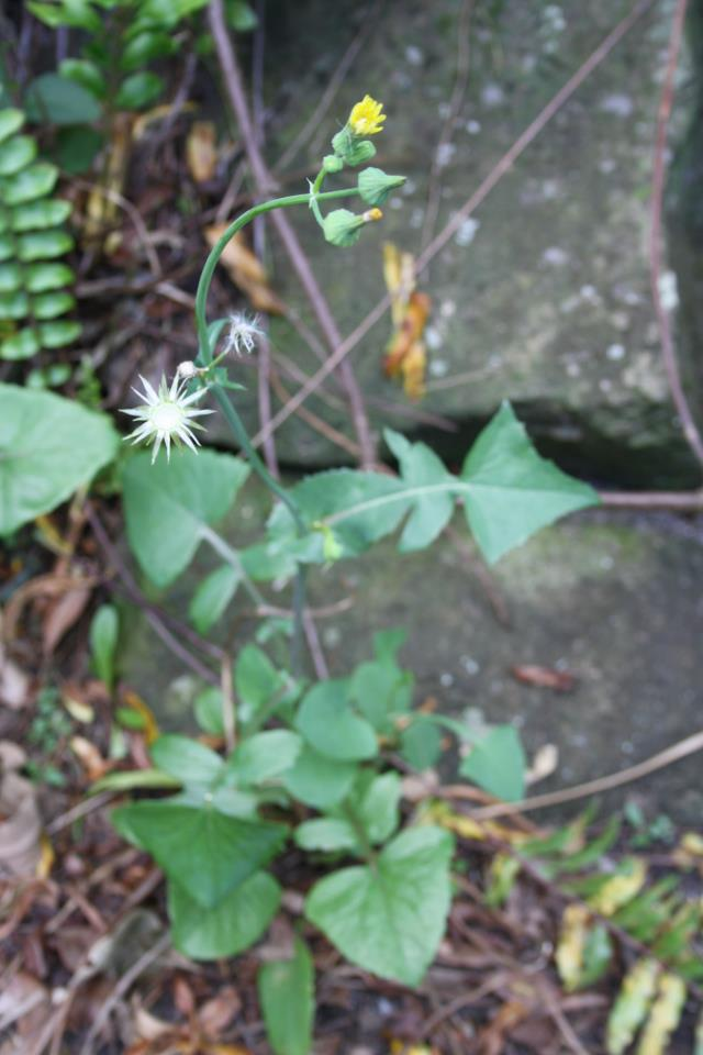 Sow-Thistle