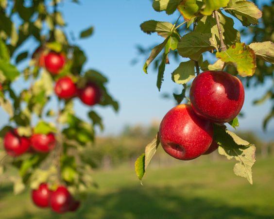伊甸園-蘋果樹