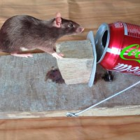 Simple, Humane Mousetrap Made from Coca Cola Cans