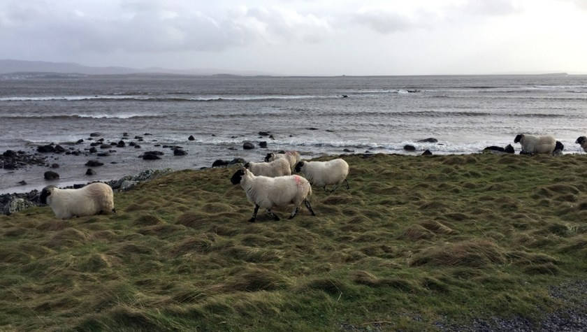 Sheep near Bruichladdich