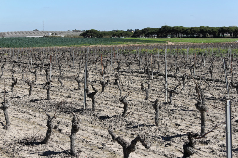 Las Cruces PX and Moscatel vineyard