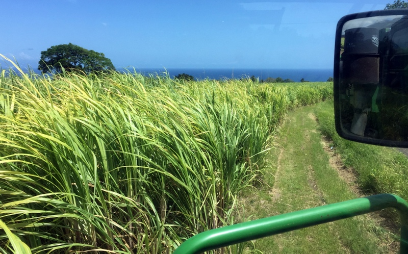 Cane field near Rhum JM, Martinique