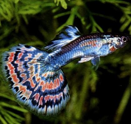 Akvārija zivis