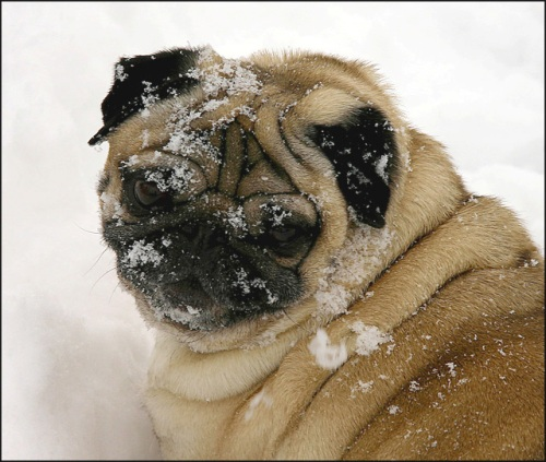 dog snow face