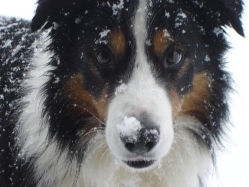 dog snow face