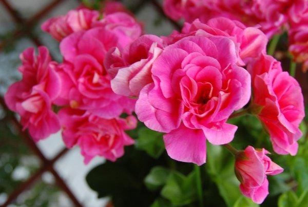 Skaisti ziedi