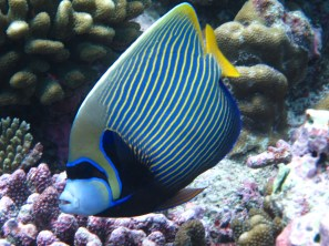 During the diving safety stop at 5 meters depth, the yellow and blue striped adult.