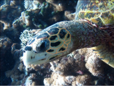 Sea Turtle Identified as HK8 Arleena by Coco Collection