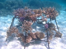 The same coral frame not even 2 years later – look at the beautiful coral growth!