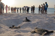 Green turtle hatchlings crawling down Dhuni Kolhu beach to reach the ocean