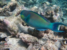 The Sheephead Parrot Fish Looking For The Next Heart To Steal