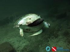 Deceased Green Turtle found entangled in a ghost net in Karachi, Pakistan.