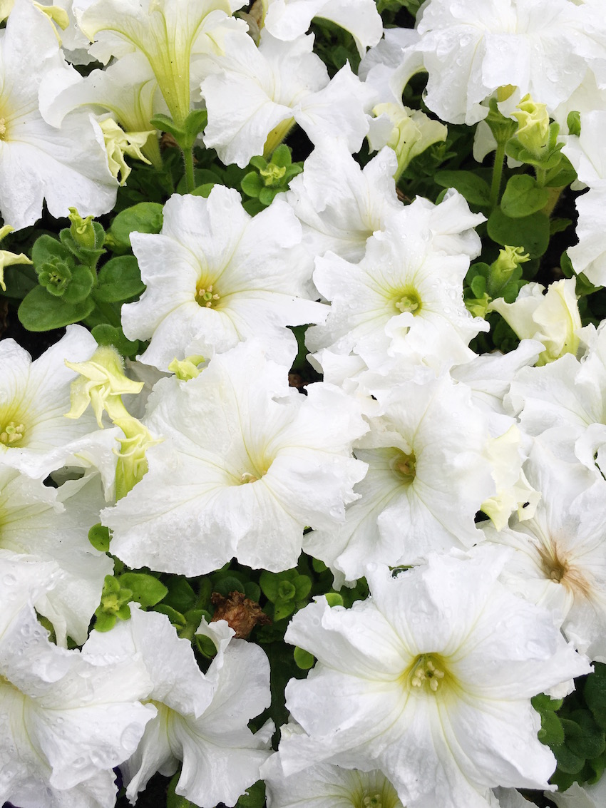 Hollywood Hills Garden Ultra White Petunias
