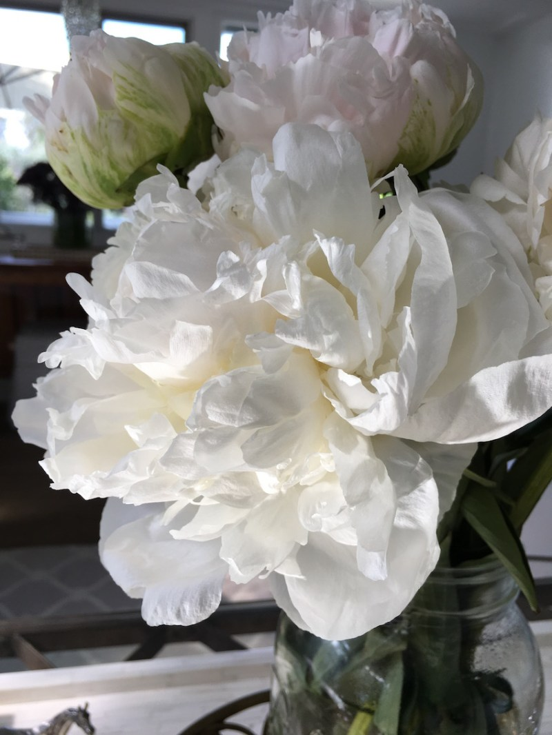 white peonies full bloom