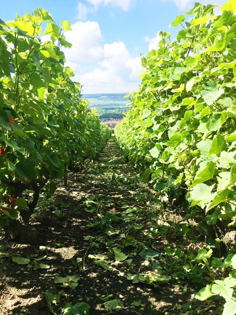 champagne wine region vineyards