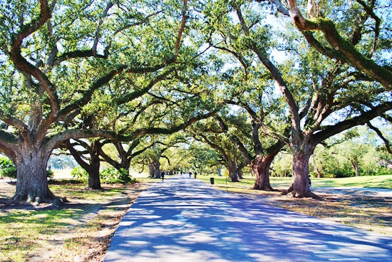 new orleans oak trees allee
