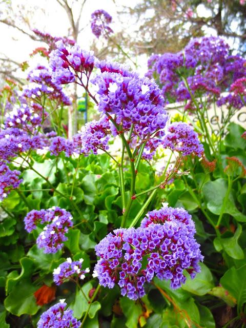 purple lilac plant bush shrub garden flower flowers spring bloom blossoms