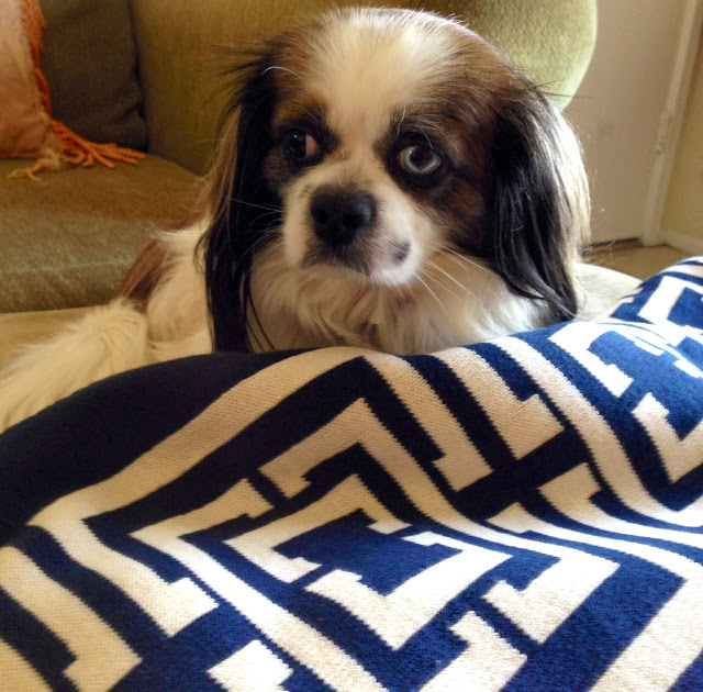 Cute King Charles mix with a navy COCOCOZY Logo Throw
