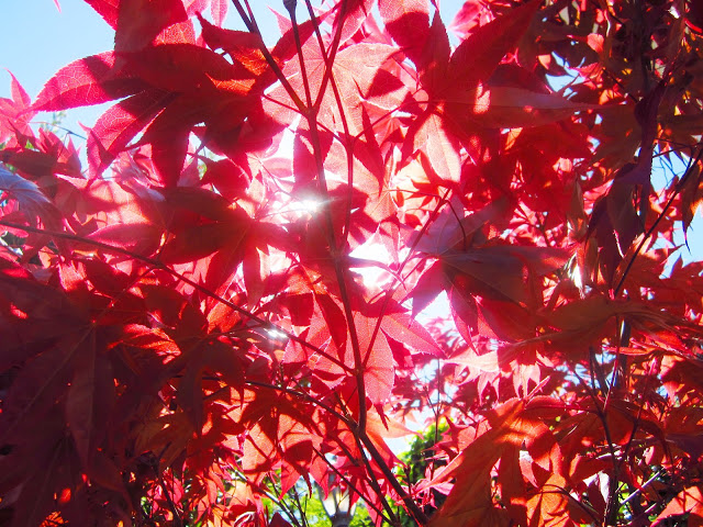 Japanese Maple leaves with the sun streaming through