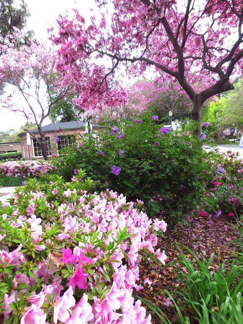 pink azaleas flower flowering plant bush shrub empress tree purple flowers small town usa claremont
