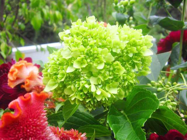 Close up Green Baby Hydrangea