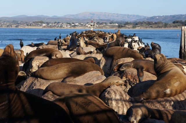 Sealions in Monterey, California, USA. Photo: Eeva Routio.