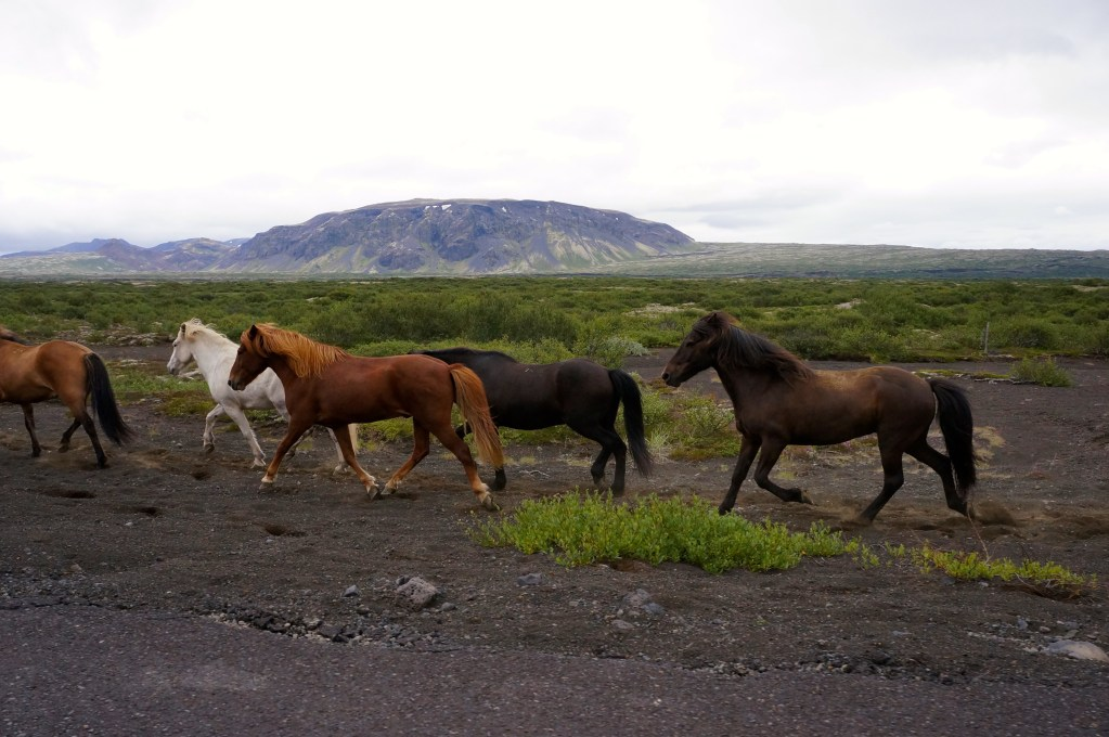 Icelandic horses. Photo: Eeva Routio.